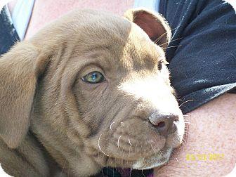 Border Collie/Anatolian Shepherd Mix Puppy for adoption in Mexia, Texas - Sunshine