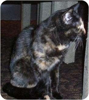 Domestic Shorthair Cat for adoption in Farmington, Arkansas - Purrl