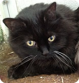 Domestic Longhair Cat for adoption in Deerfield Beach, Florida - Foxy