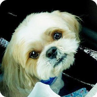 Shih Tzu Mix Dog for adoption in Mission Viejo, California - TOBY