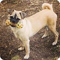 Adopt A Pet :: Bandit - Strasburg, CO