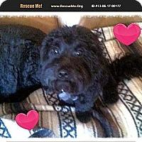 Adopt A Pet :: Lincoln - Scottsdale, AZ