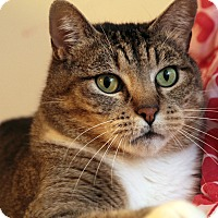 Domestic Shorthair Cat for adoption in St. Louis, Missouri - Bubba