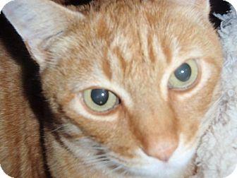 Domestic Shorthair Cat for adoption in Sacramento, California - Cyrus