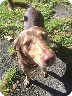 Labrador Retriever/German Shorthaired Pointer Mix Dog for adoption in Florence, Kentucky - Brimstone
