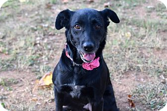 Retriever (Unknown Type)/Labrador Retriever Mix Dog for adoption in FOSTER, Rhode Island - Bonnie