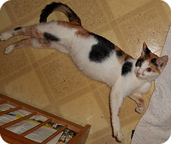Calico Kitten for adoption in Chattanooga, Tennessee - Foxy Lady