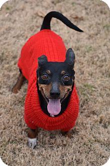Miniature Pinscher/Dachshund Mix Dog for adoption in Brattleboro, Vermont - Gonzo