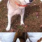 Adopt A Pet :: Angel the Husky