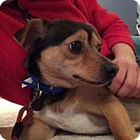 Adopt A Pet :: Clark Kent SuperChi - Woodland Park, NJ