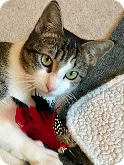 Domestic Shorthair Cat for adoption in Dallas, Texas - Princess Leia