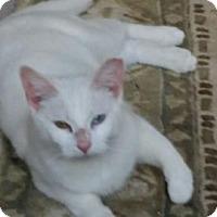 Adopt A Pet :: Snowflake - Marlborough, MA