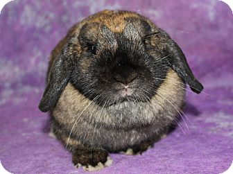 Lop, Holland for adoption in Wilmington, North Carolina - Fern