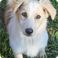 Adopt A Pet :: Sheena - Pipe Creed, TX