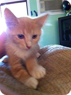 Domestic Mediumhair Kitten for adoption in Van Nuys, California - Muffin