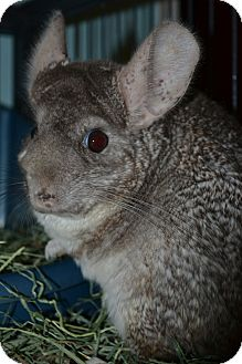 Chinchilla for adoption in Patchogue, New York - Pandora