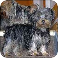Adopt A Pet :: Lambypoo - Indianapolis, IN