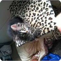 Adopt A Pet :: Maine Coon Mix - Clay, NY