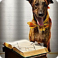 Greyhound Dog for adoption in Harrodsburg, Kentucky - Rodney
