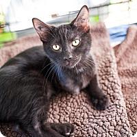 Adopt A Pet :: Isabella - Shelton, WA