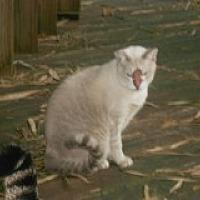 Siamese Cat for adoption in Naples, Florida - Piper