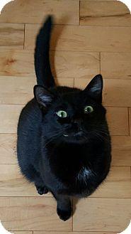 Domestic Shorthair Cat for adoption in Homewood, Alabama - Yin
