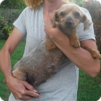 Yorkie, Yorkshire Terrier/Silky Terrier Mix Dog for adoption in Venice, Florida - Brooklyn