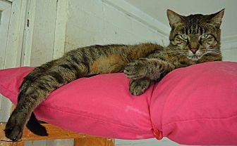 American Shorthair Cat for adoption in Middletown, New York - Bobbi