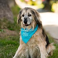 Cocker Spaniel/German Shepherd Dog Mix Dog for adoption in Los Angeles, California - Mobley