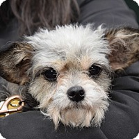 Adopt A Pet :: Sydney - New York, NY