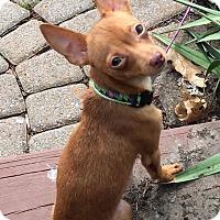 Adopt A Pet :: Thumbelina - Joliet, IL