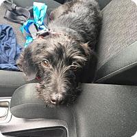 Adopt A Pet :: Andy - San Francisco, CA