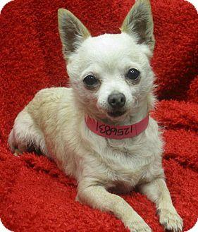 Chihuahua Dog for adoption in Studio City, California - Linda (4lbs.)