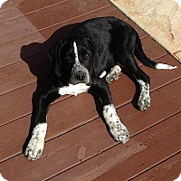 Adopt A Pet :: Dodge - Somers, CT