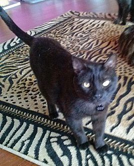 Domestic Shorthair Cat for adoption in West Hills, California - Elby