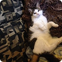 Domestic Shorthair Cat for adoption in Cleveland, Ohio - Turtle