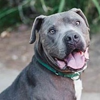 American Pit Bull Terrier/American Staffordshire Terrier Mix Dog for adoption in Marina Del Ray, California - OSO -  courtesy post