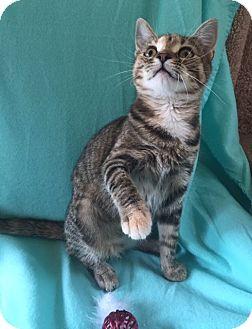 Domestic Shorthair Kitten for adoption in Bloomsburg, Pennsylvania - Arianna