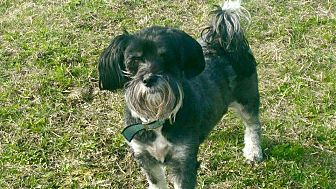 Terrier (Unknown Type, Small)/Shih Tzu Mix Dog for adoption in Peterborough, Ontario - MAGGIE