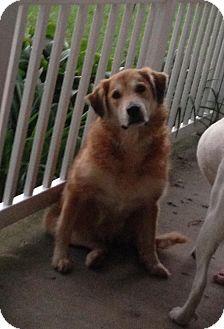 Golden Retriever/Newfoundland Mix Dog for adoption in Hainesville, Illinois - Glory