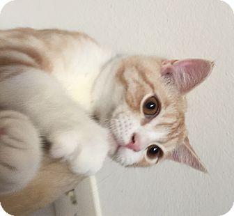 American Shorthair Kitten for adoption in Cerritos, California - Buffy
