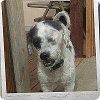 Adopt A Pet :: Kringle - Apache Junction, AZ