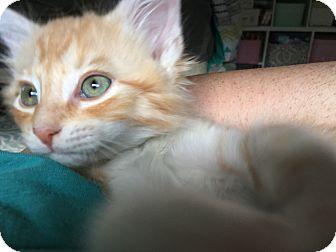 Domestic Mediumhair Kitten for adoption in Allentown, Pennsylvania - Razzle Kitten