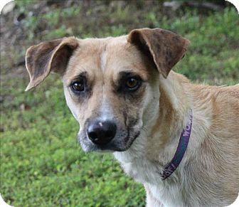 Labrador Retriever/Labrador Retriever Mix Dog for adoption in Osage Beach, Missouri - Lily