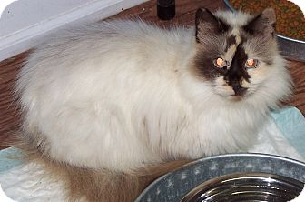 Siamese Cat for adoption in Chester, Virginia - Sweet Pea