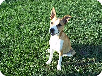 German Shepherd Dog Mix Puppy for adoption in Tampa, Florida - Mimi