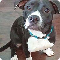 Adopt A Pet :: Darla - Knoxville, TN