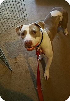 Pit Bull Terrier/American Pit Bull Terrier Mix Dog for adoption in Bakersfield, California - Cinderella