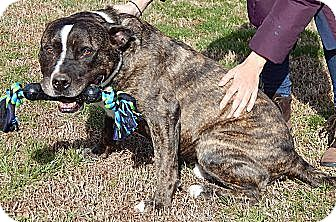 American Staffordshire Terrier/Staffordshire Bull Terrier Mix Dog for adoption in Niagara Falls, New York - Jacob(L)(85 lb) New Pics/Video
