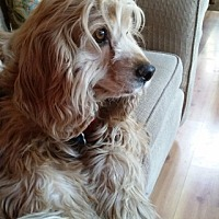Cocker Spaniel Dog for adoption in Santa Barbara, California - Copper